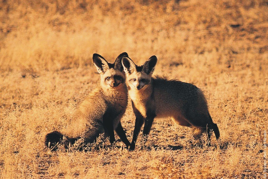 http://www.sacrs.org.za/ecm21/gallery/bat-eared-foxes-01300034b.jpg