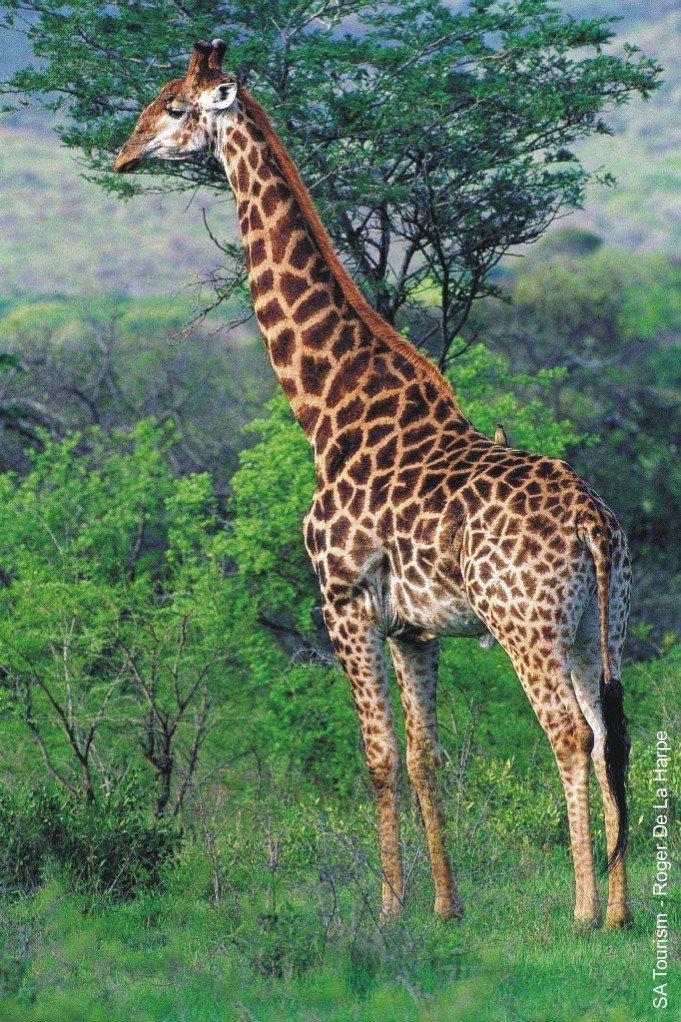 external image giraffe-01300813b.jpg